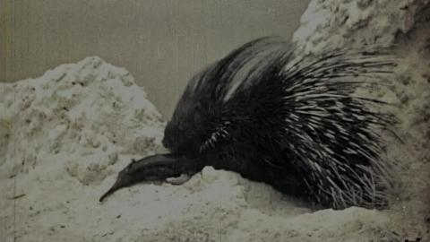 The Porcupine - A Prickly Subject