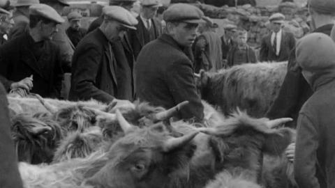 A Cattle Auction in the Hebrides