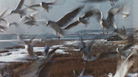 Shorelands, Malltraeth: snow, swans, gulls and Nomad
