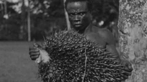 The Oil-Palm of Nigeria