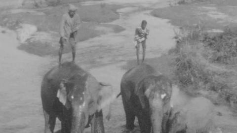 Elephants: Working and Training
