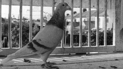 Pigeon Fancier