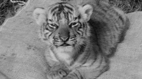 Tiger cubs born at Paignton Zoo