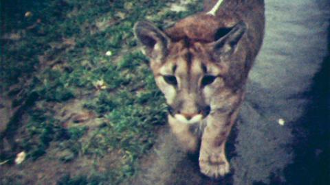 Barnstaple's Pet Puma